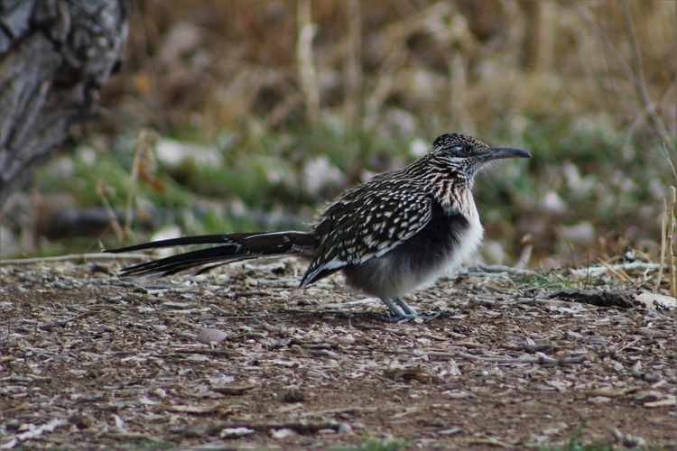 Animals In The Wild Avian Bird Fat Feathers Fluffy Geococcyx Californianus Greater Roadrunner Meep Meep New Mexico No People One Animal Roadrunner Showcase: February Southwest  Spotted Wildlife