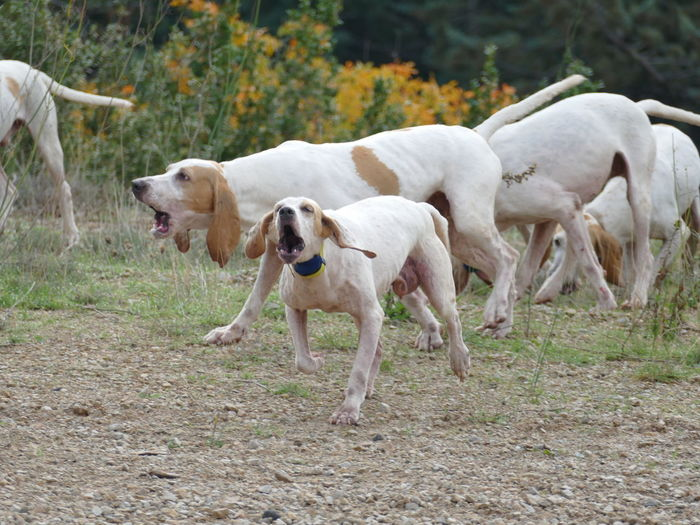 Hunting Dogs Gun Dogs France French Meute Ariegois Billys Running Chasing Howling Working Hunt Domestic Animals Canine Group Of Animals No People Outdoors Nature Field Dog Animal Themes Best Friend