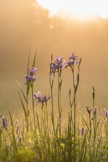 Austria Beauty In Nature Blooming Close-up Day Field Flower Flower Head Fragility Freshness Gesäuse Grass Growth Iris Sibirica Lily Nature No People Outdoors Petal Plant Sky Styria Sunset
