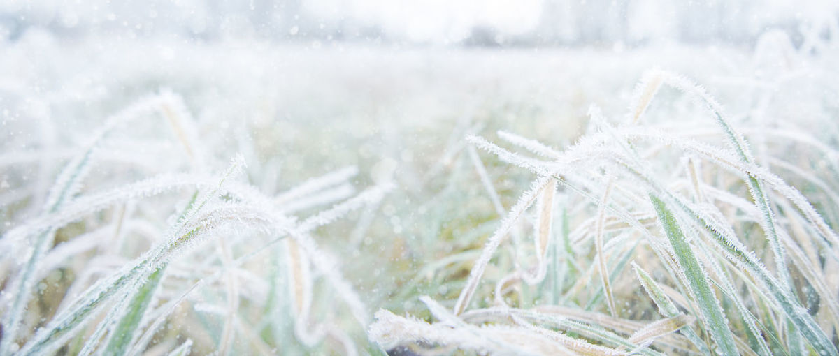 Froze lush green grass with with ice crystals on natural blurry background. natural landscape