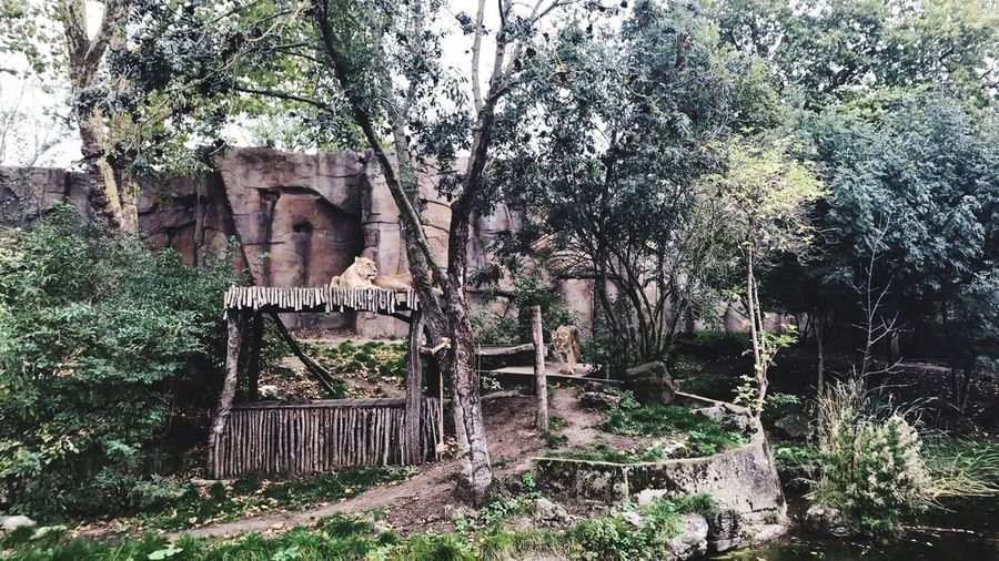 Lioness Old Ruin History No People Outdoors Lioness Londonzoo London