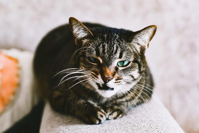 Cat Pets Portrait Feline Domestic Cat Looking At Camera Leopard Close-up