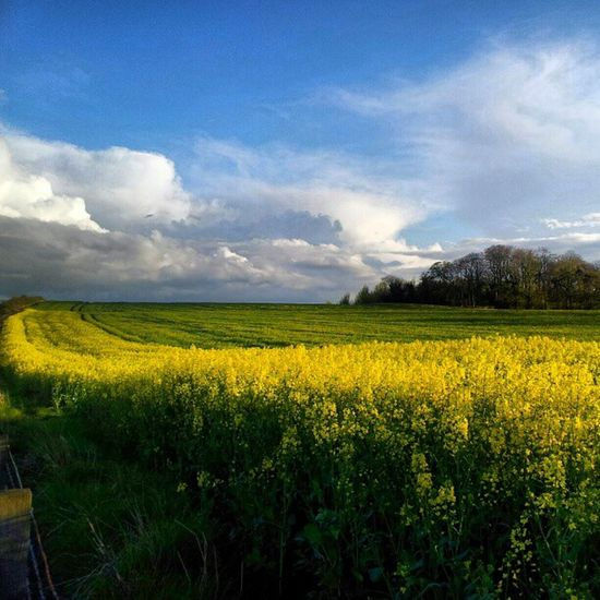 'Field of Gold' Dunfermline Fife  Scotland Cloudreality cloudatlas Clouds Cloudporn skysnappers skyporn sky yellow Fields Instagrampolis instamob insta_underdog instahub
