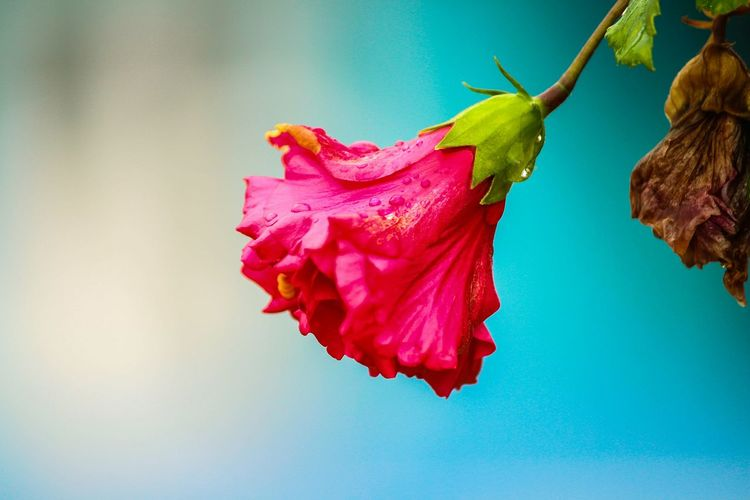 Flower Petal Fragility Freshness Red Close-up Flower Head Beauty In Nature Pink Color Nature Single Flower Selective Focus Rose - Flower Vibrant Color Blossom Botany Springtime In Bloom Rosé Softness Indianphotography Indianphotographer Fineartphotography Dramatic Angles Lifestyles