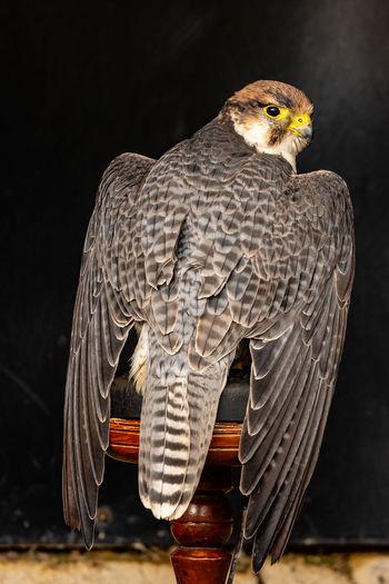 Cative peregrin falcon. Animal Themes Animal Bird Bird Of Prey Falcon - Bird Peregrine Falcon Perching Captive Bird Of Prey Captive Falcon