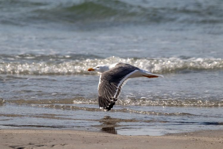 Seagull flying over beach against sea