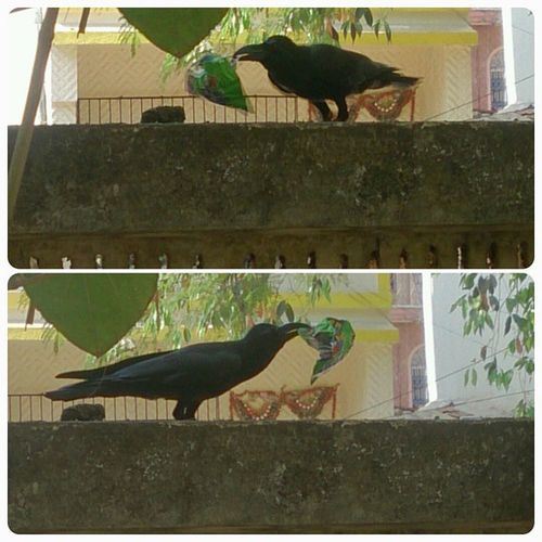 Crow taking part in SwachhBharatCampaign . We can learn from this n try to improve our Environment n near by place. CleanIndia College Bvimsr Belapur @narendramodi
