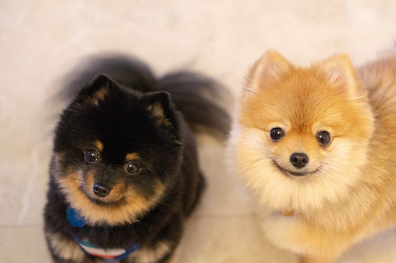 Pomeranians Dogs Dog Pommy Mammal Animal Animal Themes Pets Looking At Camera Canine One Animal Domestic Dog Portrait No People Domestic Animals Close-up Indoors  Cute High Angle View Young Animal Small Animal Eye EyeEmNewHere