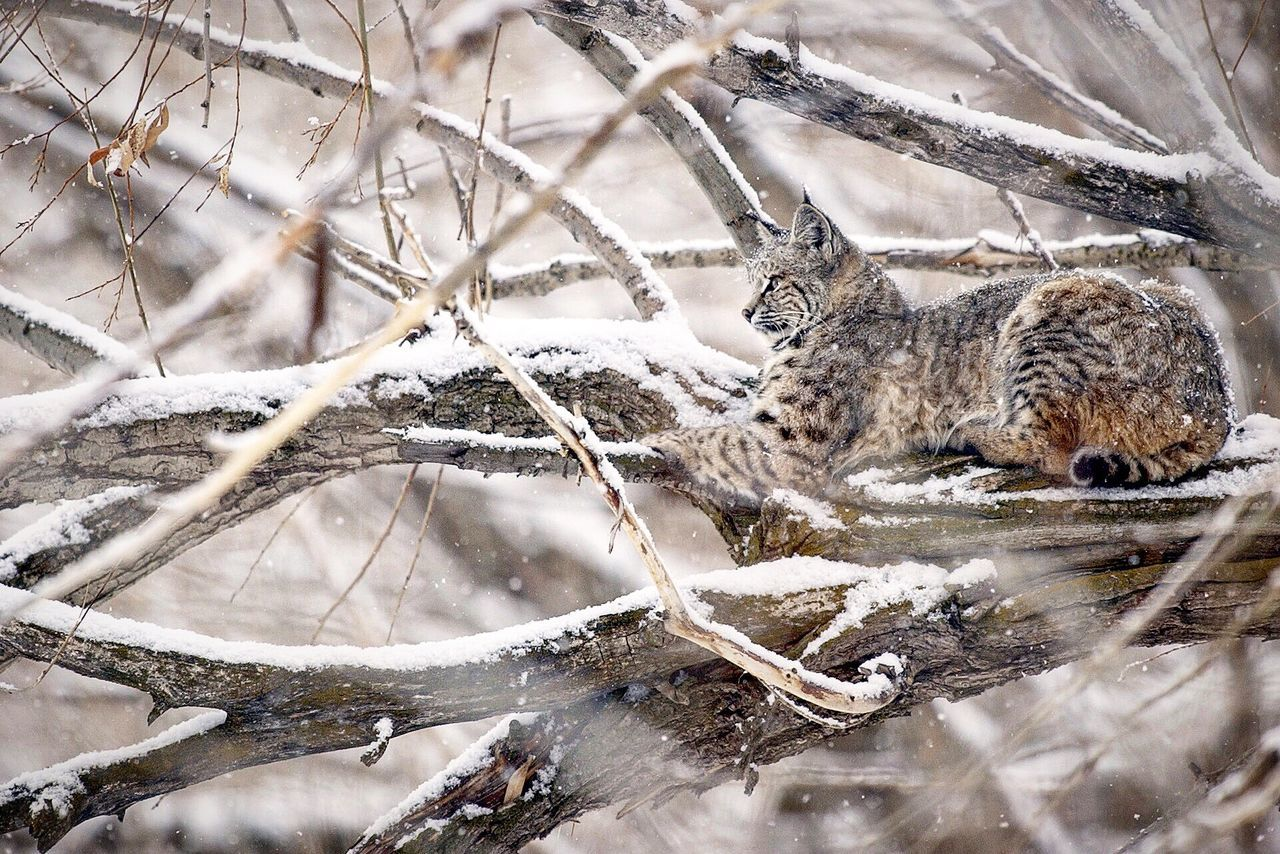 one animal, winter, animal themes, nature, snow, no people, day, cold temperature, outdoors, branch, mammal, animal wildlife, animals in the wild, beauty in nature, close-up