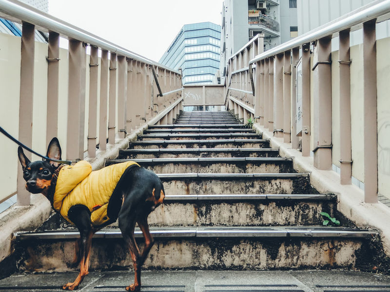 Simple Moment Urban Geometry EyeEm Best Shots Japan Looking Into The Future Perspective Pet Portraits Shaping The Future. Together. Stairs Animal Themes Animals Day Enjoying Life Livestock Lookingup Miniature Pinscher Mountain One Animal Pets Railing Staircase Stairways Steps Steps And Staircases Walking The Dog