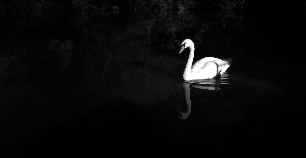 Nature In Black & White Swan Alone Beautiful Nature