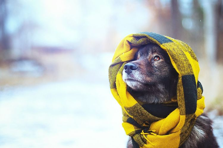 Cold winter weather, best to use a good warm scarf One Animal Close-up Day Scarf Beautiful Dog Dog Outdoors Christmas Cold Temperature Finnish Lapphund Finnishlapphund Wintertime Winter Wonderland Winter Dog Snowing Outdoors Nature Weather Snow Winter Fantasy Cold Outside Cold Days Cold Dog Love