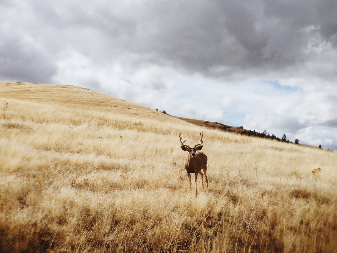Deer on grassy field against cloudy sky