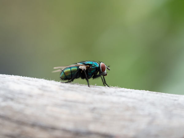 Blowfly Calliphoridae Animal Animal Themes Animal Wildlife Animal Wing Animals In The Wild Close Up Close-up Day Fauna Fly Housefly Insect Invertebrate Meat Fly Nature No People One Animal Outdoors Outside Pest Selective Focus Solid Zoology
