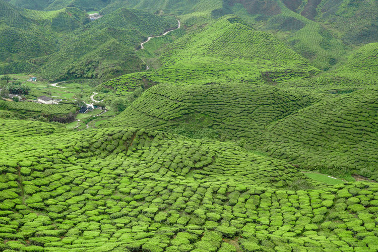 Beautiful scenery of tea plantation in Cameron Highlands Aerial View Agriculture Beauty Beauty In Nature Bharat Cameron Highlands Day Field Green Color Growth Landscape Nature No People Outdoors Patchwork Landscape Rice Paddy Rural Scene Scenics Tea Tea Plantation  Tea Plantations Terraced Field Tranquil Scene