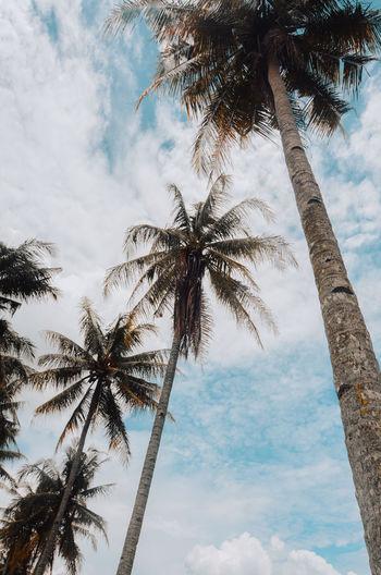 coconut tree in Moyudan,Yogyakarta Scenics - Nature Palm Leaf Tropical Tree Outdoors Tranquility Coconut Palm Tree Beauty In Nature Cloud - Sky Low Angle View Palm Tree Tropical Climate Tree Trunk Growth No People Nature Plant Tall - High Pohon Kelapa Tinggi Sky Blue Yogyakarta Travel Destinations Jogja INDONESIA