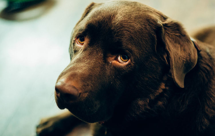 Hmm chicken or fish for dinner...? Labrador Pet Dog Eye4photography  Taking Photos 50mm EyeEmBestPics