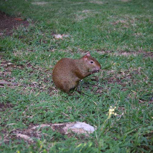 Sereque / Aguti Agouti Sereque Aguti Animal Animal Themes Animal Wildlife Animals In The Wild Day Field Full Length Grass Green Color Land Mammal Nature No People One Animal Outdoors Plant Profile View Rodent Side View Squirrel Vertebrate