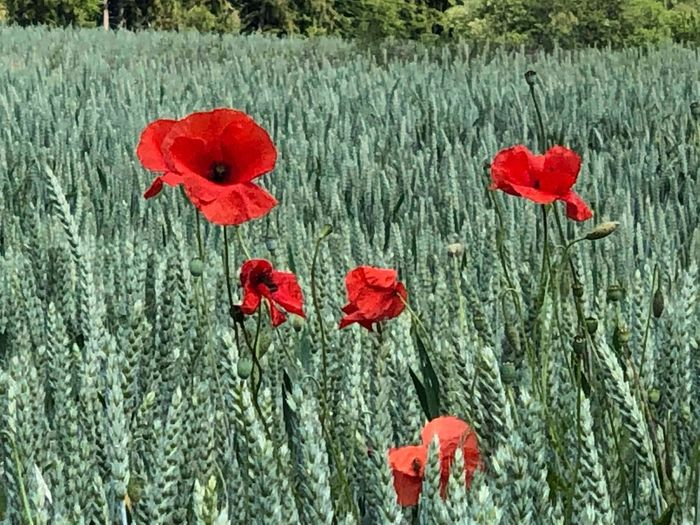 Farbenspiel im Acker Plant Flower Red Flowering Plant Poppy Petal Beauty In Nature No People Day Outdoors Flower Head Nature Botany