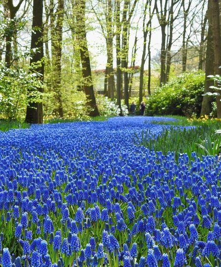 Grape Hyacinths Blue Check This Out Scenic View Recreation  Energy Happy Park Keukenhof Garden Holland Springtime Spring Spring Flowers Season