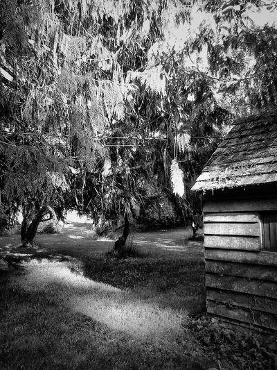 Afternoon Light Fine Art Photography Black And White Blackandwhite EyeEmbnw Light And Shadow Light Afternoon Light Fineartphotography Fineart_photobw Cedar Tree Olympic Peninsula Upperleftusa