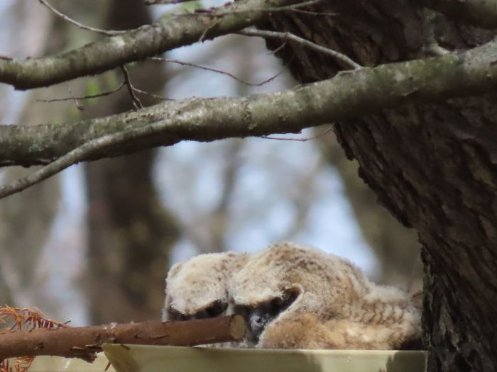 Two owlets in a nest tree trunk branches birds of EyeEm close up focus on the foreground outdoors beauty in nature Animal Themes No People