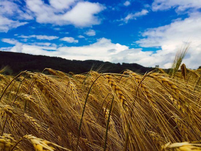 Corn Cornfield Blue Sky Bluesky Taking Photos Golden Fields