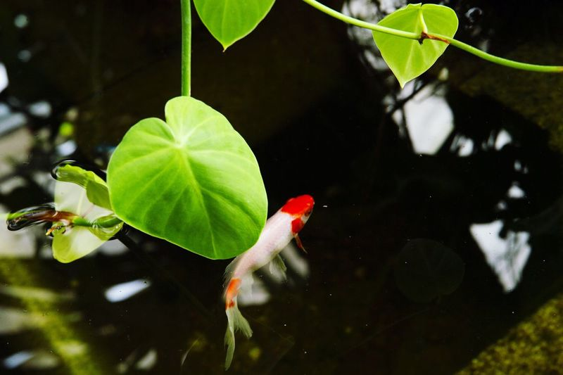 fish Natural Natural Beauty Nature Still Life Feuilles Luminosity Nikon D4 Nikon Nikonphotography Water Black Background Multi Colored Leaf Red Floating On Water Bird Close-up Plant Green Color Water Plant
