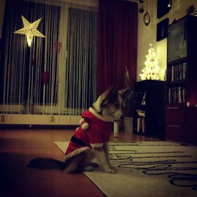 Santadog. Dog Sheltie Sheltiemix Sheltiesofig_ cute santa santadog christmas xmas holidays winter santaclaus santaslittlehelper mixedbreed