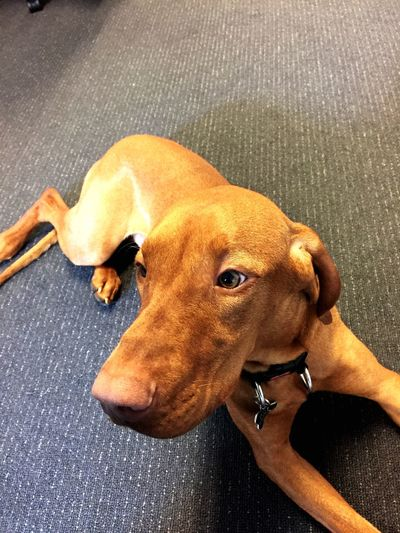 Office mascot/manager Dog Cute Pets