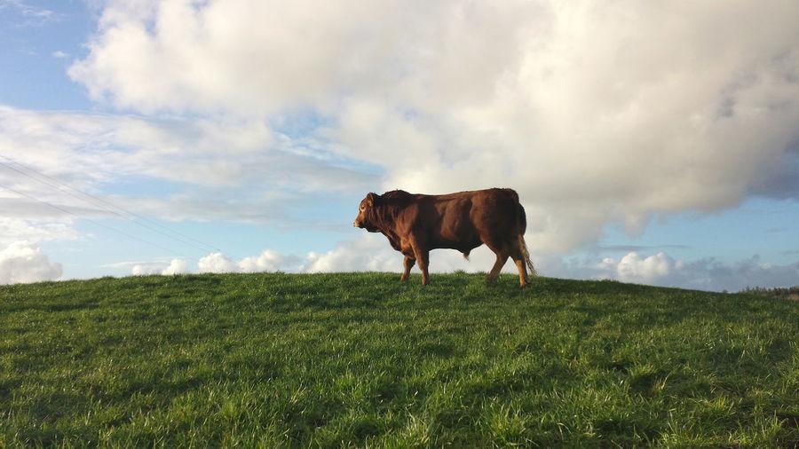 Single bull standing in green pasture