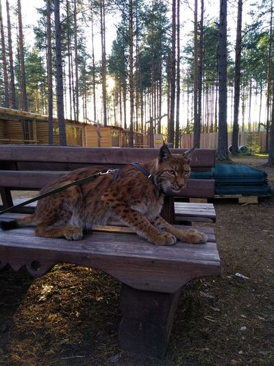 lynx Lynx Tree