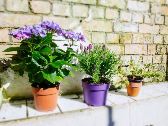Plant pots Sunshine Lavender Hydrangea Shabbychic Plant Growth Potted Plant Flower Flowering Plant Nature Flower Pot Wall No People Fragility Freshness Beauty In Nature Outdoors Brick Architecture Gardening