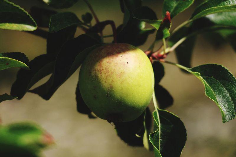 Close-up of unripe fruit