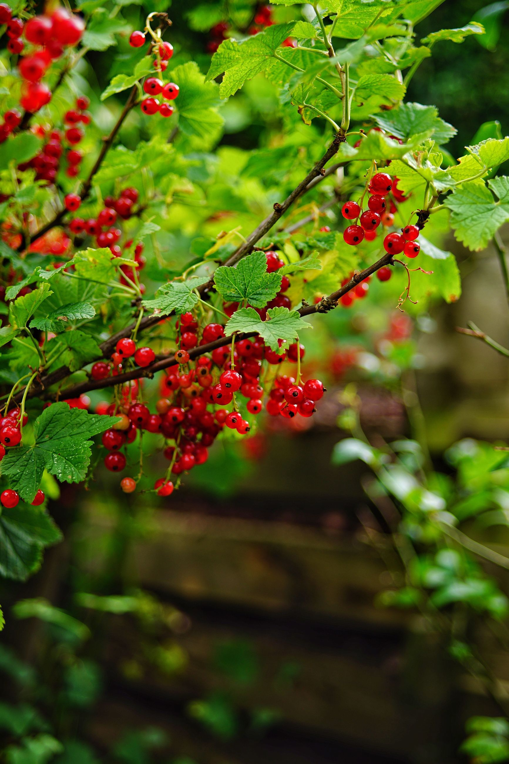 fruit, red, growth, berry fruit, food and drink, growing, rowanberry, green color, outdoors, nature, no people, leaf, plant, day, focus on foreground, beauty in nature, food, tree, freshness, healthy eating, branch, close-up