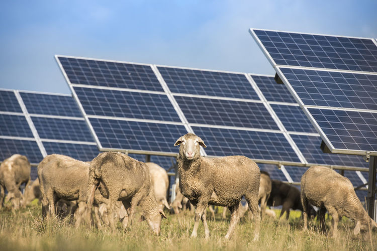 Flock of sheep on grassy field by solar panels
