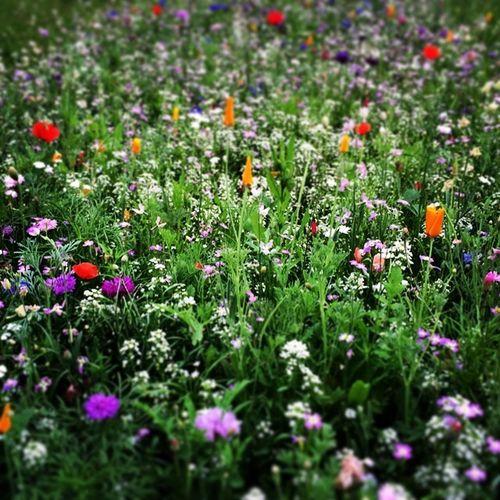 #wiese #feld #field #nature #infranken #franken #franconia #blumen #flowers