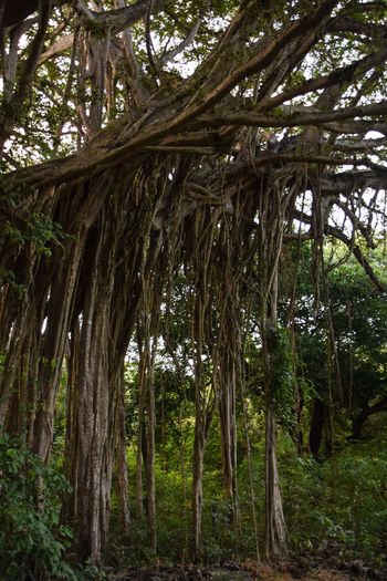 Banyan Tree Costa Rica Guanacaste  Guanacaste Province Guanacaste Costa Rica Guanacaste, Costa Rica Banyan Banyan Tree Roots Banyan Tree Trunk Banyantree Beauty In Nature Branch Day Forest Growth Landscape Low Angle View Nature No People Outdoors Scenics Tree Tree Trunk WoodLand