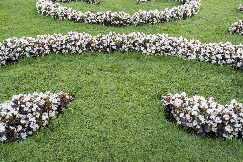 Begonia Flower Field Garden Flowers Gardening Background Backgrounds Beauty In Nature Begonia Day Flower Flowerbed Garden Garden Photography Grass Green Color Growth Large Group Of Animals Large Group Of Objects Lawn Nature No People Outdoors Park White