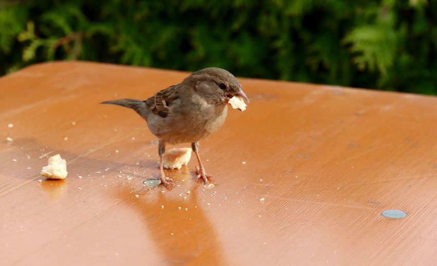 Animal Beauty In Nature Bird Bird Photography Birds Birds_collection Close-up Day Focus On Foreground Nature No People Outdoors Selective Focus Sparrow Sparrows Spatz Sperling Sperlingsvögel Vogel#