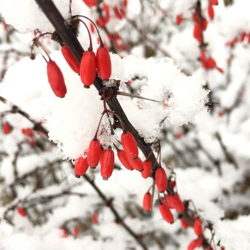 Red Nature Close-up Rose Hip Fruit Outdoors Tree Twig Plant Day After Snowing Day AFTER THE SNOW Beauty In Nature Fragility Red And White