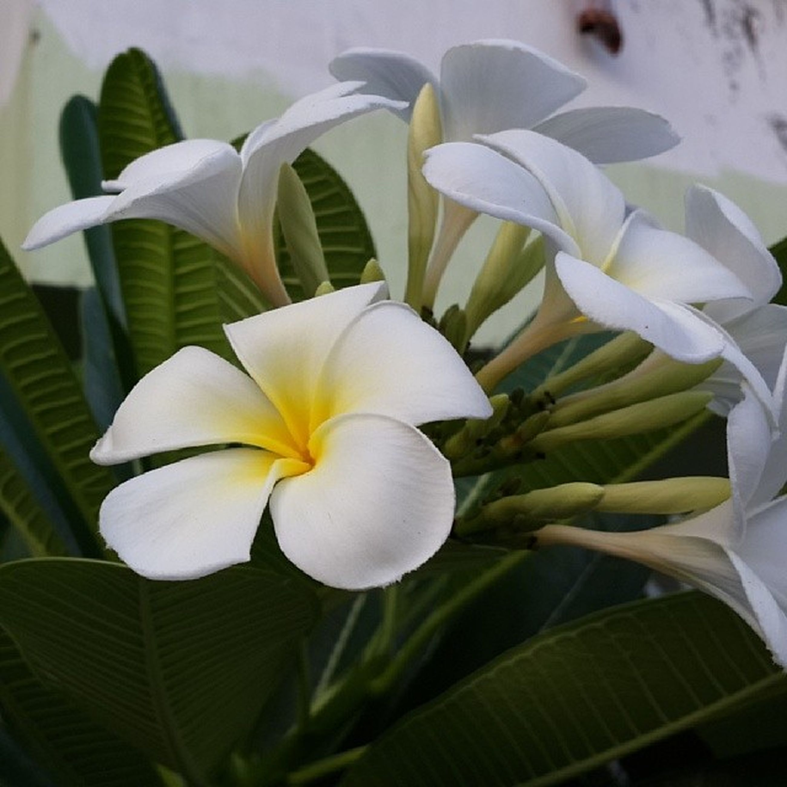 flower, petal, freshness, flower head, fragility, growth, white color, beauty in nature, plant, close-up, leaf, blooming, nature, indoors, in bloom, focus on foreground, stem, white, blossom, no people