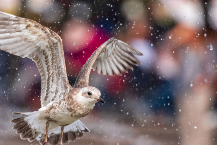 young seagull in flight Rain Animal Animal Body Part Animal Themes Animal Wildlife Animal Wing Animals In The Wild Bird Close-up Day Flapping Flying Focus On Foreground Motion Nature No People One Animal Outdoors Seagull Spread Wings Vertebrate Young Bird