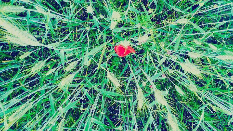 Mohnblume Feld Getreide Oberkrumbach Blume Getreidefeld Nature