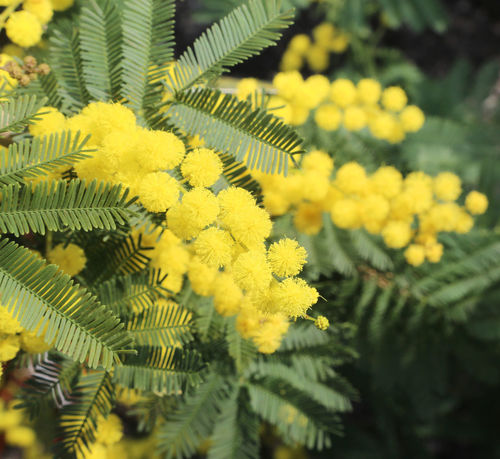 yellow mimosa flowers symbol of international day of women Frauenkampftag IWD International Women's Day Internationaler Frauentag Journée Internationale Des Femmes Mimosa Flowers Weltfrauentag Festa Della Donna Festa Delle Donne International Woman Day International Womens Day Iwd 2018 Iwd 2k18 Iwd2018 Mimosa Mimosa Background Mimosa Flower Mimosa Pudica Mimosa Tree Mimosa Trees Mimosas Mimose Women's Rights ınternational Women's Day
