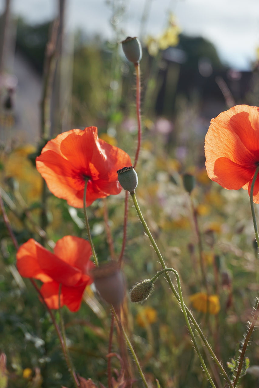 flowering plant, beauty in nature, flower, plant, fragility, vulnerability, freshness, petal, growth, close-up, inflorescence, focus on foreground, flower head, nature, poppy, red, plant stem, orange color, day, no people, outdoors, orange