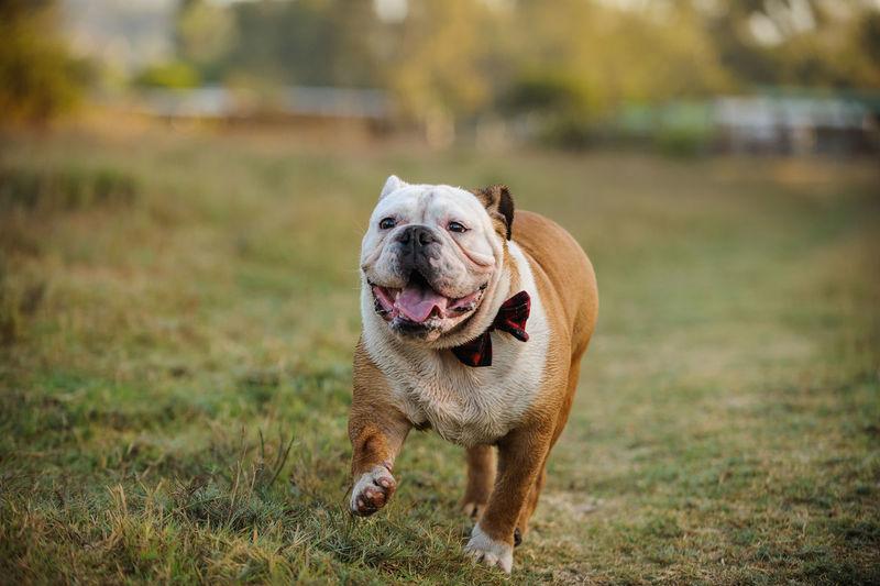 English bulldog running on grassy field