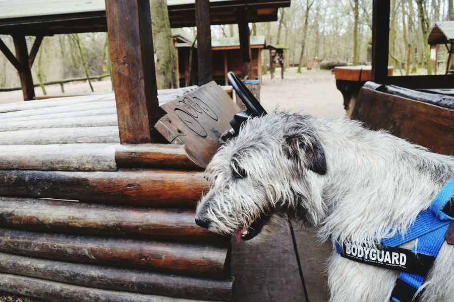 Domestic Animals Outdoors One Animal Animal Themes Deep In The Woods Cearnaigh Irish Wolfhound Dogslife Dogs Of EyeEm Dogslife Dogs Of Winter Dog Of The Day Dogwalk From My Point Of View