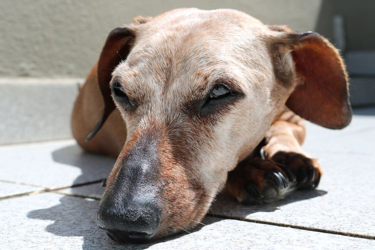 Dog Canine Close-up Lying Down Sunlight Relaxation Focus On Foreground Looking Pets Domestic Animals Dachshund Sausagedog 14 Years Old Old Dog Love Cute Dog  Pet Portraits Pet Photography  Dog Photography Dogs Of EyeEm Aging Process Aging Dogslife The Week Of Eyeem Canon Rebel T6i