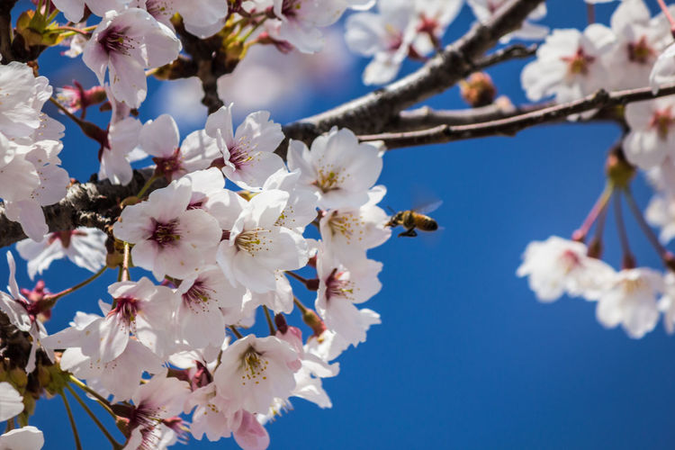 Low angle view of insect on cherry blossom